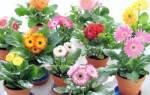 Как выглядят цветы герберы