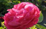 Роза поль нерон