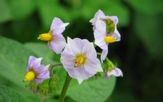 Картофельные цветки на спирту