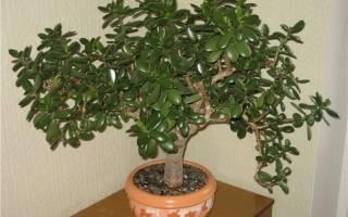 Чем подкормить денежное дерево в домашних условиях