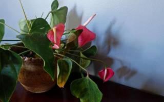 Почему чернеют листья у антуриума