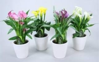 Домашний цветок калла