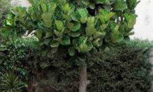 Фикус лировидный размножение листом