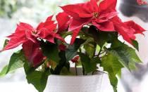 Домашний цветок с красными листьями название