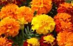 Как выглядит цветок шафран