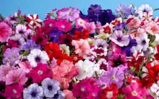 Как собрать семена петунии в домашних условиях