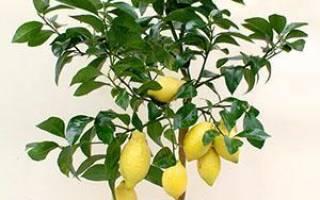 Лимон в домашних условиях из косточки