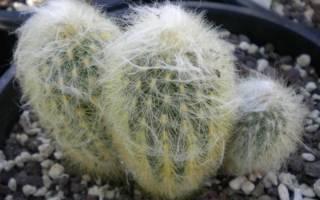 Мохнатый кактус