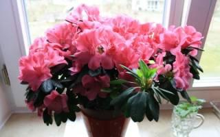Комнатные цветы долгоцветущие