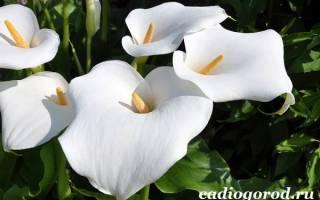 Как выглядят каллы цветы