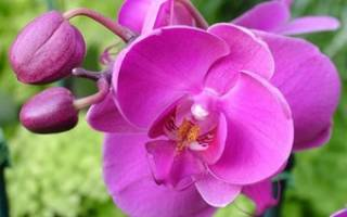 Пересадка цветущей орхидеи
