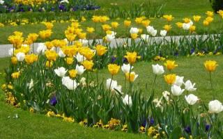 Как красиво посадить тюльпаны