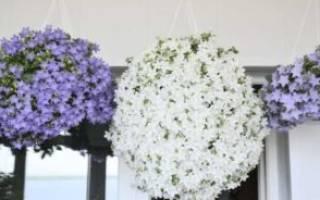 Комнатные цветы невеста