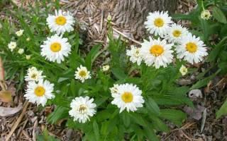 Ромашка садовая многолетняя