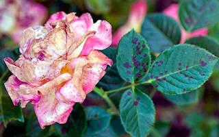Заболевания роз и их лечение