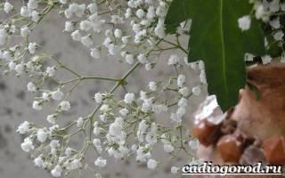 Гипсофилы цветы