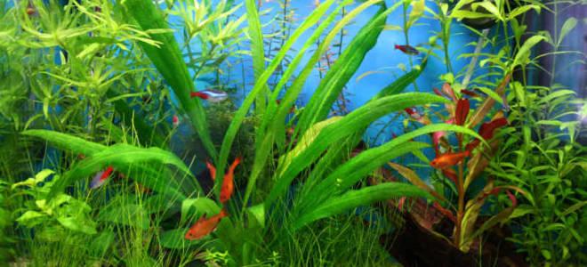 Папоротник в аквариуме содержание