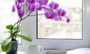 Сколько цветет орхидея фаленопсис в домашних условиях