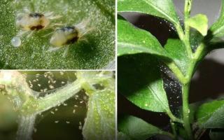 Как избавиться от клеща на комнатных растениях