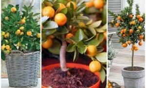 Как вырастить мандарин