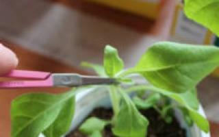 Петунья уход и выращивание прищипывание