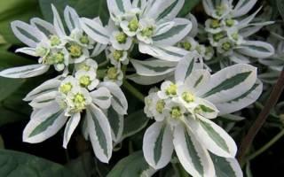 Невеста растение