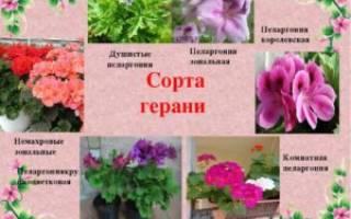 Пеларгония королевская уход в домашних условиях
