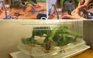Загнили корни у орхидеи что делать