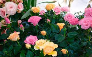 Комнатные цветы розы