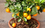 Домашний мандарин уход