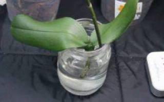 Орхидея без корней