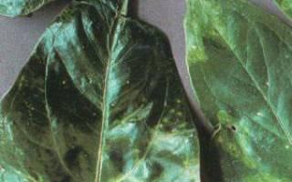 Антуриум болезни листьев лечение
