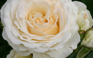 Флорибунда роза космос