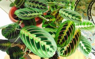 Комнатное растение с цветными листьями