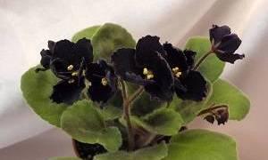Черный факир фиалка