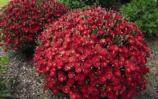Низкорослая хризантема многолетняя