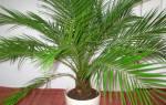 Уход за пальмой