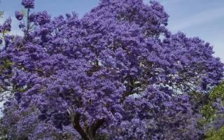Джакаранда дерево