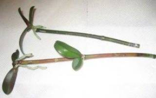 Как размножить фаленопсис в домашних условиях