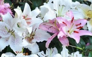 Чем отличаются лилии восточные от азиатских