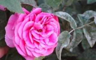 Розы мучнистая роса лечение