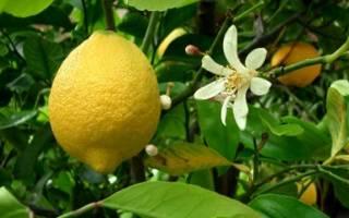 Как укоренить лимон из черенка
