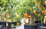 Выращивание мандарина в домашних условиях из косточки