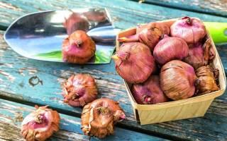Как хранить луковицы гладиолусов в домашних условиях