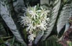 Цветок тещин язык цветение