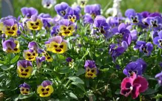 Фиалка многолетняя садовая