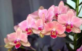 Как растить орхидею в домашних условиях