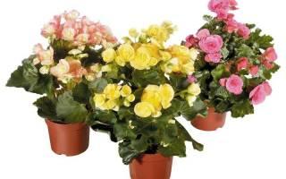 Бегонии уход и выращивание в домашних условиях