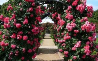 Чайные розы кустовые