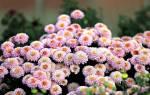 Как заставить цвести хризантему